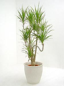 観葉植物ドラセナ・マルギナータ(コンシンナ)