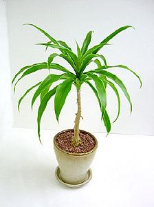 観葉植物ドラセナ・ロッシアーナ