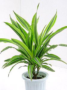 観葉植物ドラセナ・ワーネッキー(シロシマセンネンボク)