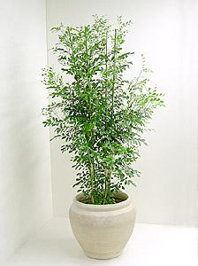 観葉植物ゲッキツ(シルクジャスミン)