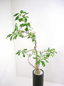 観葉植物ハナキリン