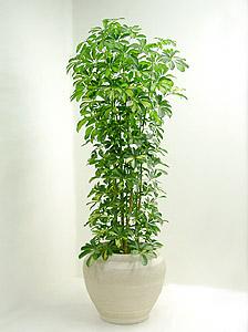 観葉植物 斑入りホンコンカポック