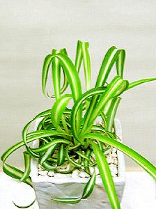 観葉植物斑入りオリヅルラン