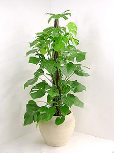 観葉植物ヒメモンステラ(ペッサム)
