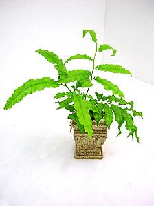 観葉植物ホソバリュウビンタイ