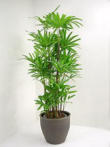 観葉植物カンノンチク