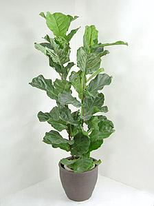 観葉植物カシワバゴムノキ(フィカス・リラータ)