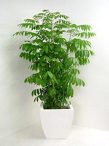 観葉植物カスタノスペルマム(ジャックと豆の木)