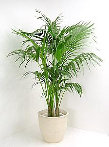 観葉植物ケンチャヤシ