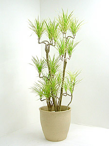 観葉植物コンシンナ・ホワイホリー
