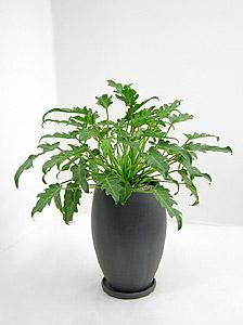 観葉植物 クッカバラ