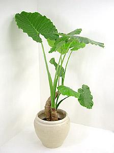 観葉植物クワズイモ