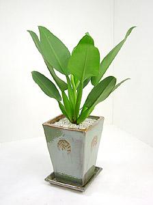 観葉植物キャニフォリウム(ホテイカズラ)