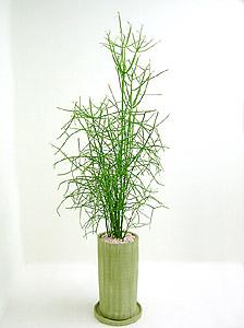 観葉植物ミルクブッシュ(ミドリサンゴ)