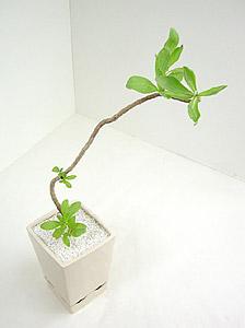 観葉植物モンパノキ