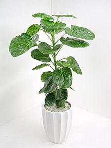 観葉植物ポリシャス・バルフォリアナ(フリスビー)