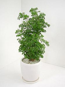 観葉植物ポリシャス・フルチコーサ(タイワンモミジ)