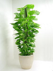観葉植物ポトス(オオゴンカズラ)