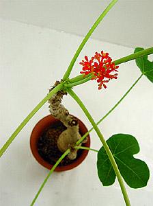 観葉植物サンゴアブラギリ