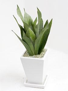 観葉植物サンセベリア・シルバーハニー