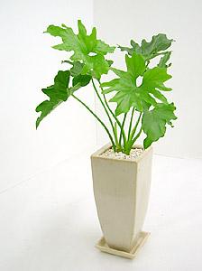 観葉植物セロウム