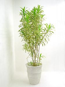 観葉植物ソングオブインディア