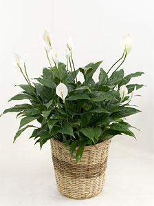 観葉植物スパティフィラム