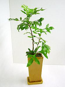 観葉植物ステノカルプス・シヌアタス