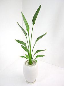観葉植物ストレリチア・レギネ