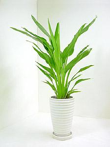 観葉植物タビビトノキ(旅人の木)