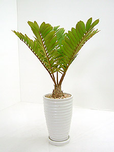 観葉植物ザミア・プミラ(ヒロハザミア)