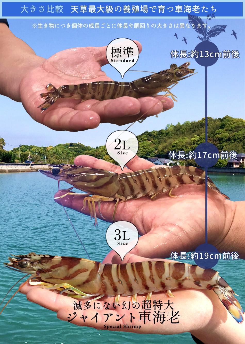 車海老の大きさサイズ比較