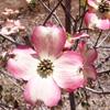 花を楽しむ木