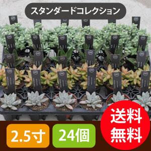 多肉植物2.5寸24個セットスタンダード