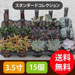 多肉植物3.5寸15個セットスタンダード