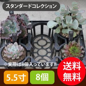 多肉植物5.5寸8個セットスタンダード