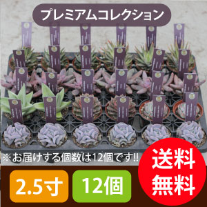 多肉植物2.5寸12個セットプレミアムコレクション