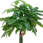 観葉植物8号鉢