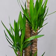 観葉植物10号鉢