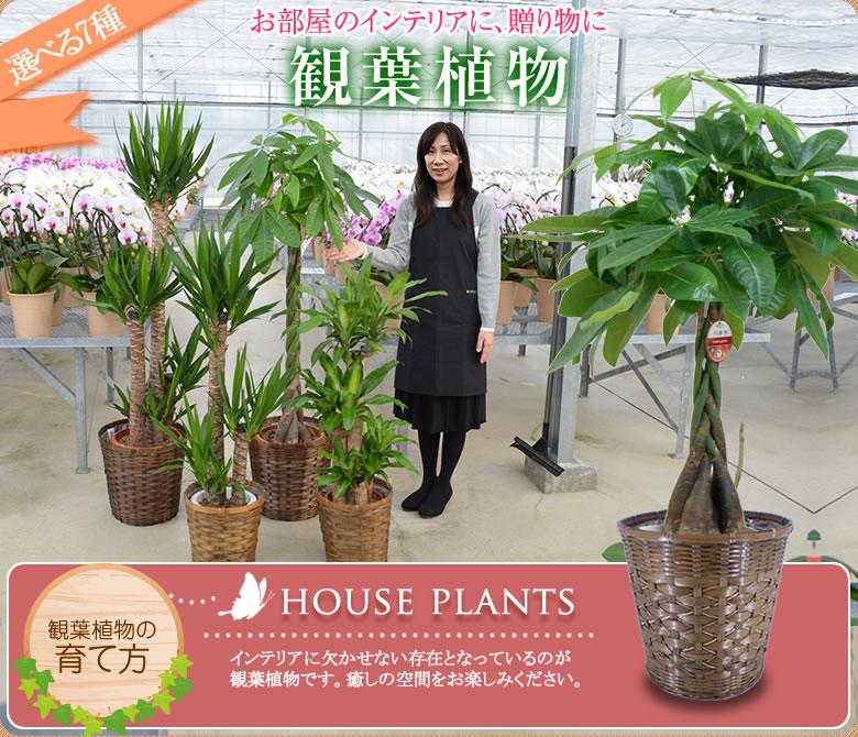 お部屋のインテリア 観葉植物
