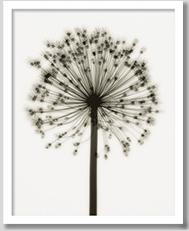 癒しのヒーリングインテリア Allium(ユリ科のネギ)フォト 店舗装飾 壁面装飾用 ポスター アートポスター 絵 額付き 黒 白黒 モノトーン 絵画