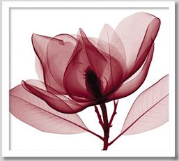 壁掛け アート ポスター Red Magnolia(赤モクレン)のフォトアート ポスター 絵画壁掛け アート ポスター Red Magnolia(赤モクレン)のフォトレッド マグノリア【絵】絵画赤 朱色 red 絵画