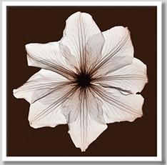 インテリア アート fineart アートフレーム モダンアートClematis(クレマチス)レントゲン写真撮影した植物・花のフォトアート花柄