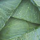 冬の代表野菜!キャベツ
