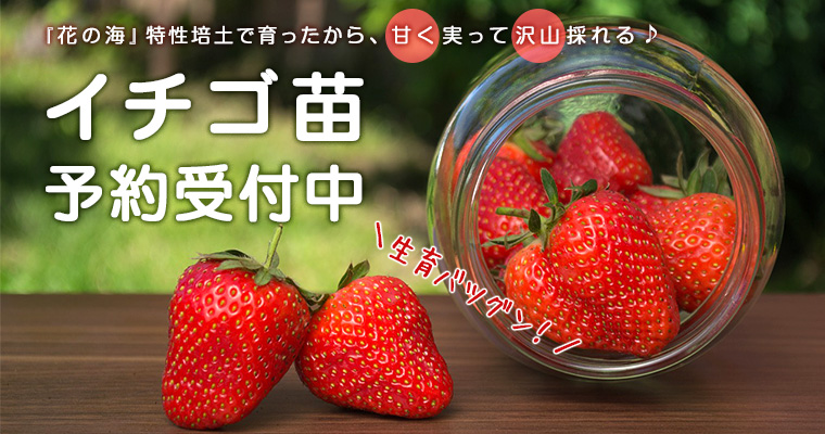 甘く実って沢山採れる♪イチゴ苗予約受付中