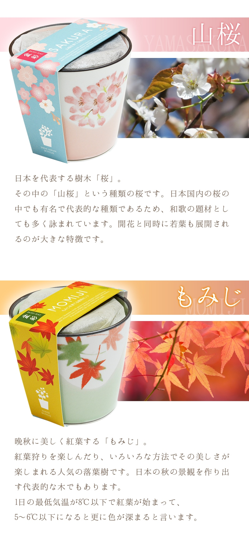「山桜」開花と同時に若葉も展開されるのが大きな特徴です。「もみじ」紅葉狩りを楽しんだり、いろいろな方法でその美しさが楽しまれる人気の落葉樹です。