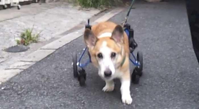 犬用車椅子 こたろう